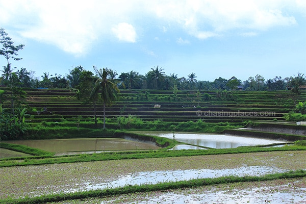 Picture perfect rice terraces minutes from Ubud town