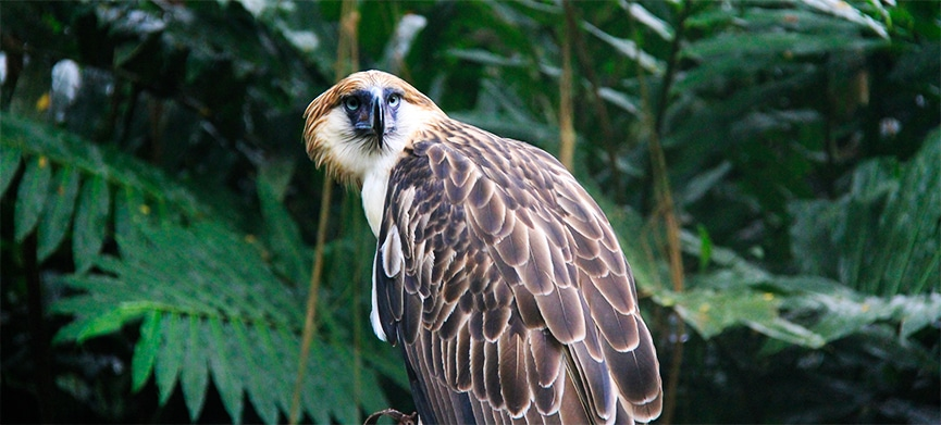Chasing Places (Slider)The Philippine Eagle