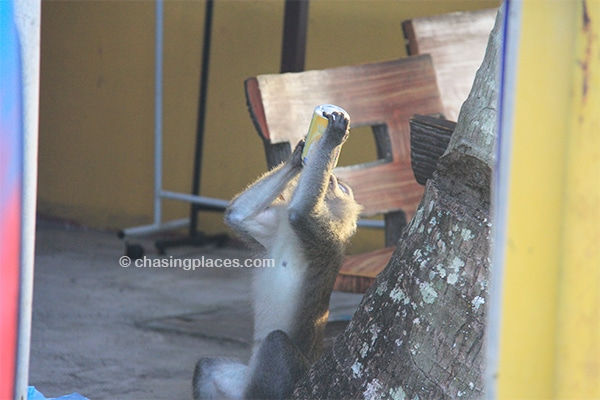 One of the pesky residents of Cherating downing a Soya Bean Milk