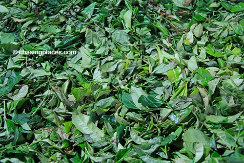 Freshly picked tea leaves from Sri Lanka.