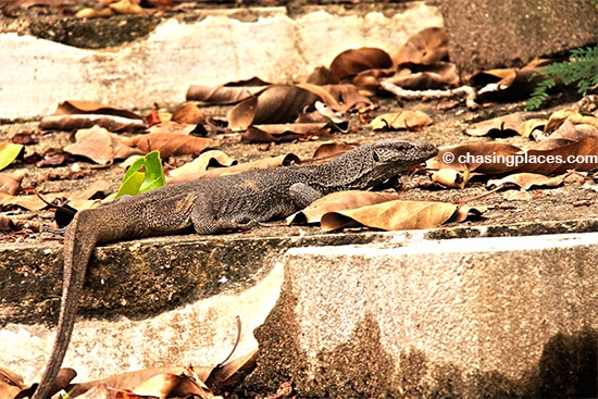 You'll never know what lurks around Unawatuna Bay - a mature monitor lizard minding his own business