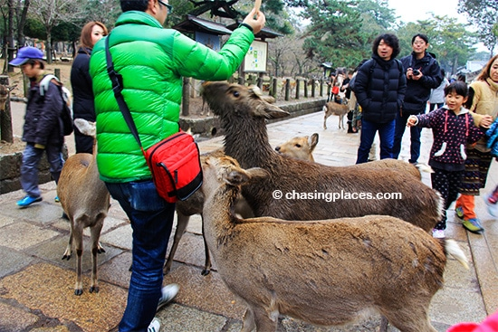 If you are seeking the undivided attention of deer, Nara is the place to be