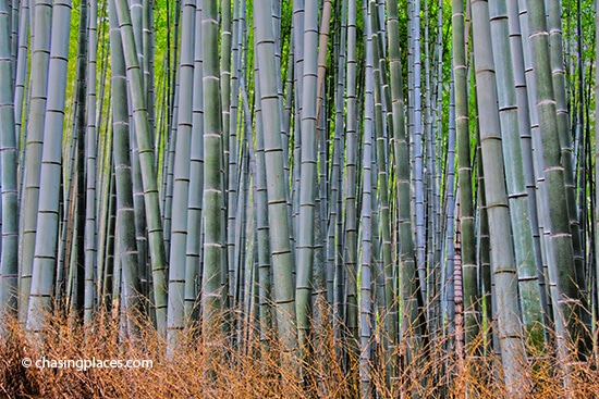 An unobstructed view of the Bamboo Grove