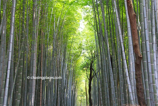 Looking for the sun through the bamboo trees within the Grove
